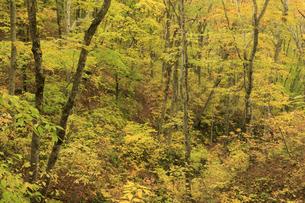 白神山地の紅葉のブナ林の写真素材 [FYI04770877]
