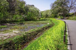 春の公園 谷戸カキツバタ園の菜の花(里山ガーデン)の写真素材 [FYI04771009]