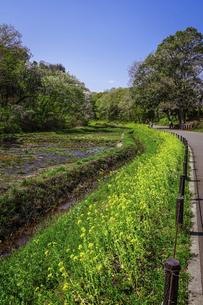 春の公園 谷戸カキツバタ園の菜の花(里山ガーデン)の写真素材 [FYI04771011]