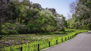 春の公園 谷戸カキツバタ園の菜の花(里山ガーデン)の写真素材 [FYI04771013]