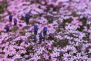 ムスカリと芝桜の花畑の写真素材 [FYI04771149]