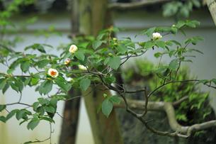 6月 沙羅双樹(ナツツバキ)の東林院の写真素材 [FYI04771254]