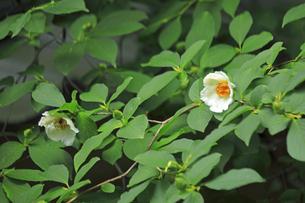 6月 沙羅双樹(ナツツバキ)の東林院の写真素材 [FYI04771257]