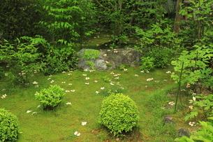 6月 沙羅双樹(ナツツバキ)の退蔵院の写真素材 [FYI04771263]