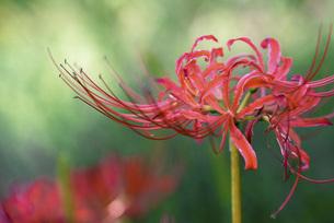 真っ赤な彼岸花の写真素材 [FYI04771384]