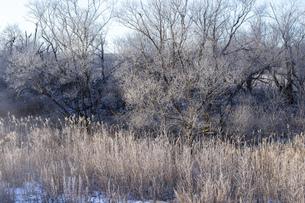 北海道冬の風景 阿寒郡鶴居村の樹氷と気嵐の写真素材 [FYI04771436]