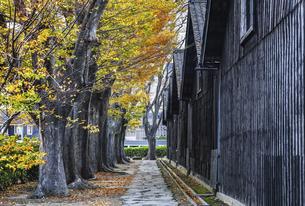 建ち並ぶ山居倉庫と紅葉のケヤキ並木の写真素材 [FYI04771532]
