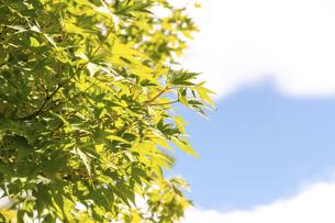 真夏の楓の写真素材 [FYI04771646]