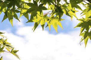 真夏の楓の写真素材 [FYI04771647]