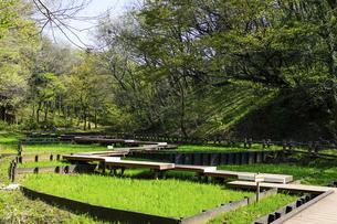 春の公園 「神奈川県立四季の森公園」しょうぶ園の木道の写真素材 [FYI04771662]