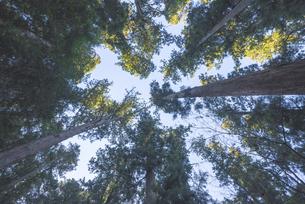 杉林を見上げた風景の写真素材 [FYI04771718]