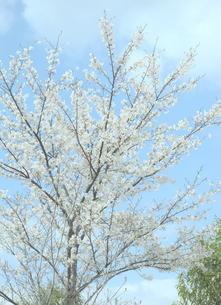 桜と青空の写真素材 [FYI04771719]
