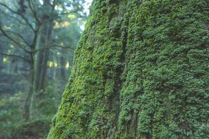 苔に覆われた杉の木と緑の世界の写真素材 [FYI04771723]