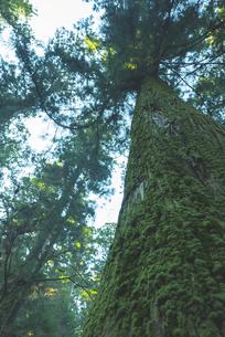 苔に覆われた杉の木の写真素材 [FYI04771738]