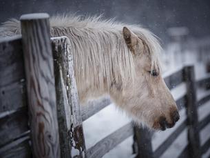 冬の道産子の写真素材 [FYI04772093]