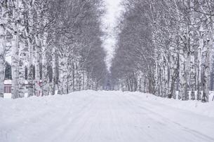 雪の白樺並木の写真素材 [FYI04772103]