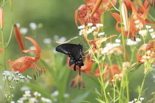 コオニユリの花の蜜を吸うミヤマカラスアゲハの写真素材 [FYI04772209]