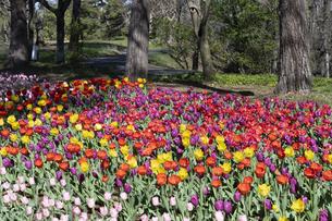 チューリップの花畑の写真素材 [FYI04772417]