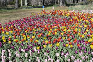 チューリップの花畑の写真素材 [FYI04772418]