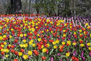 チューリップの花畑の写真素材 [FYI04772420]