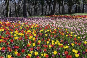 チューリップの花畑の写真素材 [FYI04772422]