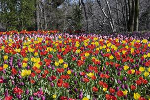 チューリップの花畑の写真素材 [FYI04772426]