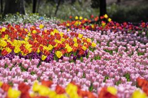 チューリップの花畑の写真素材 [FYI04772427]