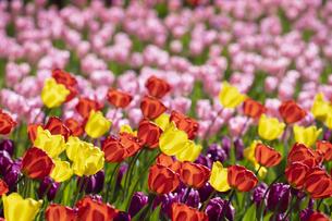 チューリップの花畑の写真素材 [FYI04772429]