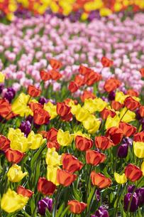 チューリップの花畑の写真素材 [FYI04772433]