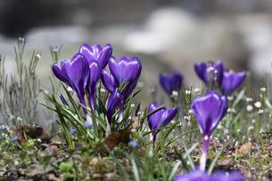 クロッカスの花の写真素材 [FYI04772440]
