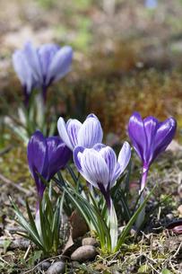 クロッカスの花の写真素材 [FYI04772441]