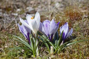 クロッカスの花の写真素材 [FYI04772444]
