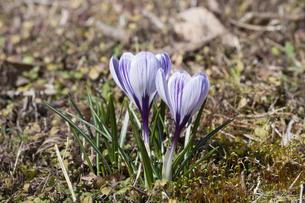 クロッカスの花の写真素材 [FYI04772447]