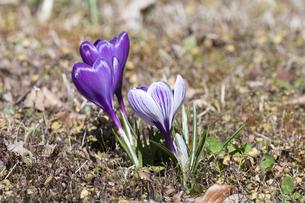 クロッカスの花の写真素材 [FYI04772448]