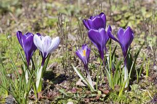 クロッカスの花の写真素材 [FYI04772449]