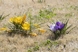 クロッカスの花の写真素材 [FYI04772454]