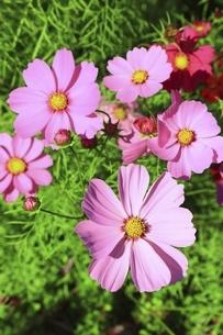コスモスの花の写真素材 [FYI04772566]