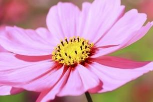 コスモスの花の写真素材 [FYI04772567]