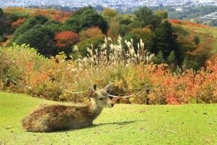 秋の若草山と鹿の写真素材 [FYI04772573]