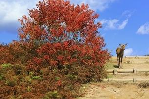秋の若草山と鹿の写真素材 [FYI04772577]