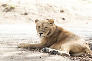 横たわるメスのライオンの写真素材 [FYI04772766]