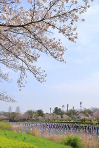 桜とこいのぼりの写真素材 [FYI04772788]