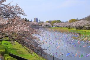 桜とこいのぼりの写真素材 [FYI04772789]
