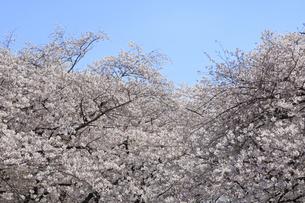 目黒川の桜の写真素材 [FYI04772790]