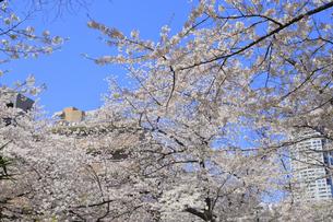 目黒川の桜の写真素材 [FYI04772791]