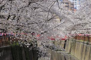目黒川の桜の写真素材 [FYI04772795]