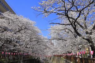 目黒川の桜の写真素材 [FYI04772796]
