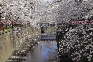 目黒川の桜の写真素材 [FYI04772797]