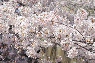 目黒川と桜の写真素材 [FYI04772798]