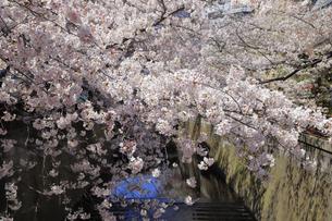 目黒川と桜の写真素材 [FYI04772799]